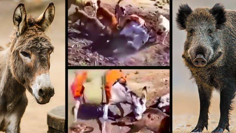 El burro atacando al jabalí junto a dos imágenes de archivo. ©Shutterstock
