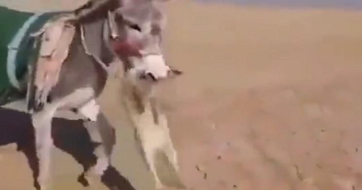 Impactantes imágenes de un burro matando a un zorro