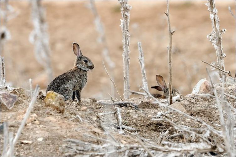 La Federación de Caza de Castilla-La Mancha cuestiona los nuevos requisitos exigidos para la captura de conejos.