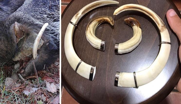 Caza un jabalí de 65 kilos con unos exagerados colmillos de 24 y 28 centímetros
