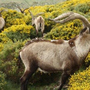 Los cazadores aportaron más de 1 millón de euros a la Reserva de Gredos el año pasado