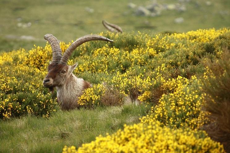 Nuevo varapalo judicial a PACMA: la cabra montés se volverá a cazar en Madrid