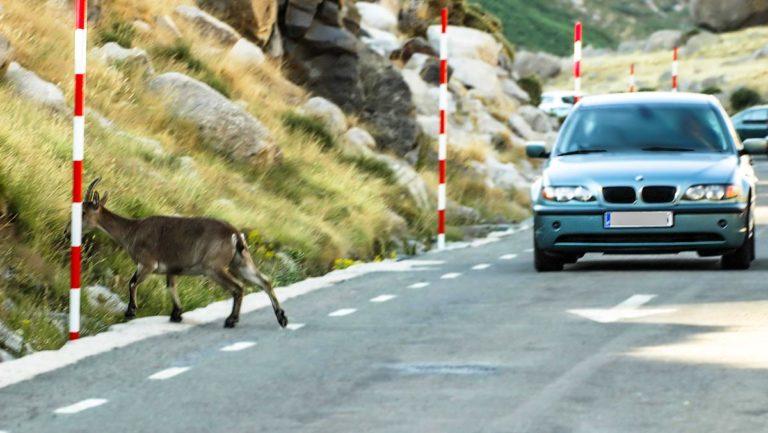 Cabra montés cruzando una carretera.