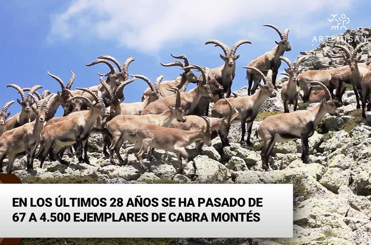 Fundación Artemisan saca a la luz los daños irreparables que provoca la cabra montés en Guadarrama