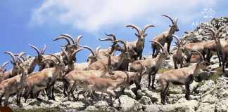 cabra montes en guadarrama