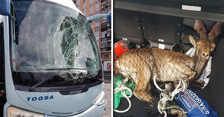Localizan en una frutería a la cabra montesa que chocó con un autobús en Valencia