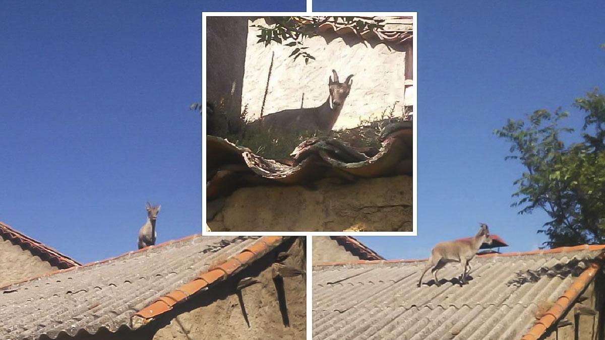 Fotografían a una cabra montés caminando por los tejados de un pueblo de Salamanca