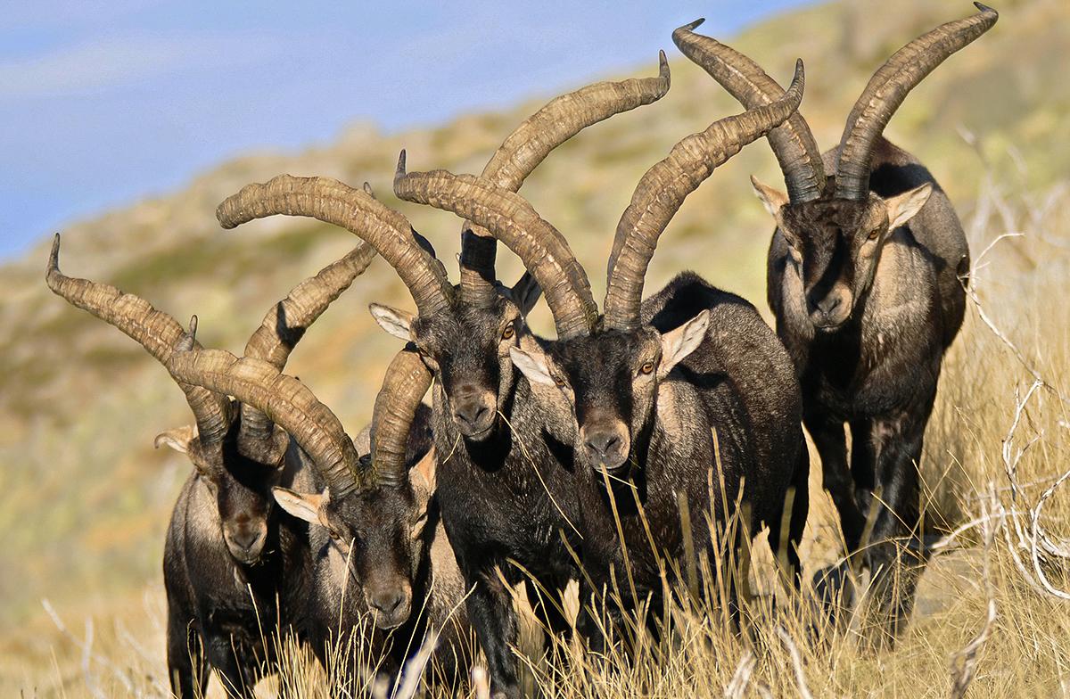 La Comunidad de Madrid sugiere que sean los guardas, y no los cazadores, los que abatan el exceso poblacional de las cabras de Guadarrama. / JDG