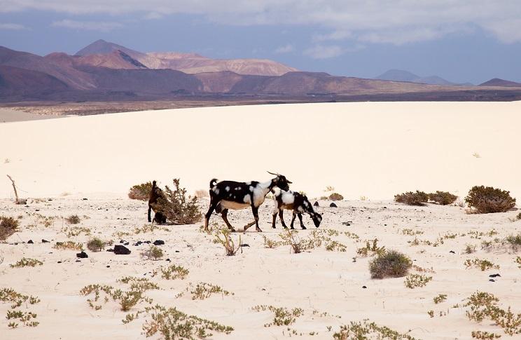 Los cazadores se muestran en contra del control de animales de producción asilvestrados que pretende aprobar Canarias