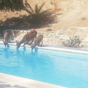 Graban a una veintena de cabras bebiendo en la piscina de un hotel