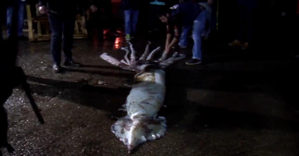 Pescan en Asturias un calamar gigante de 10 metros y 150 kilos