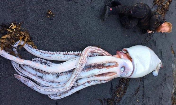 Encuentran un calamar gigante en una playa de Nueva Zelanda