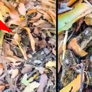 Debajo de estas hojas se esconde un tesoro: una camada de liebre con cinco lebratos