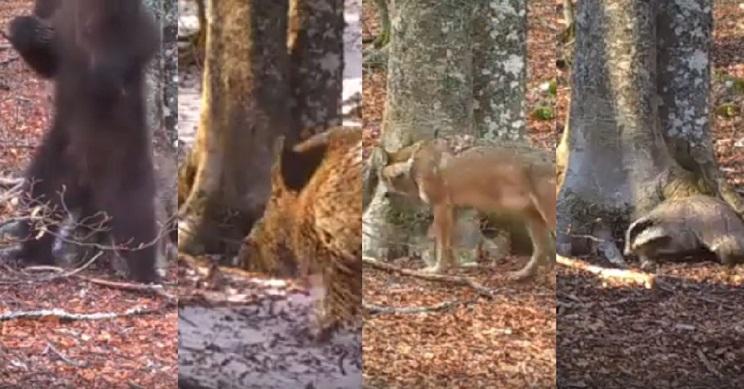 Colocan una cámara de fototrampeo en el bosque durante un año y alucinan con lo que graba