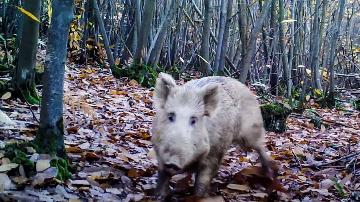 Algunos animales sí detectan las cámaras trampa: Este jabalí blanco es el ejemplo