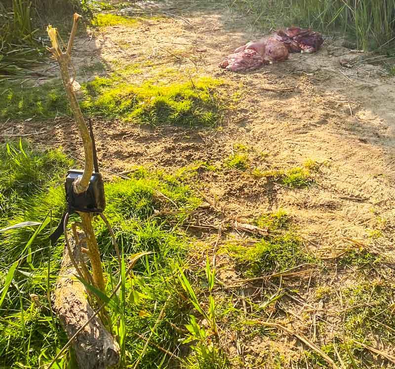 Cebo con los restos de un corzo frente a una cámara trampa. /RVG