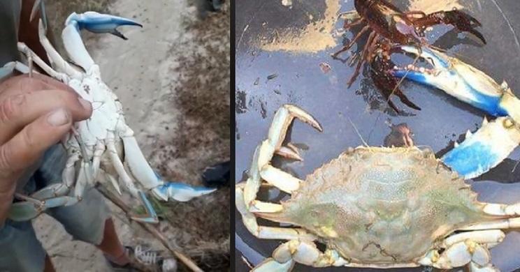 Capturan decenas de cangrejos azules en las marismas del Guadalquivir