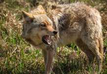 imagen de coyote