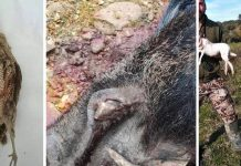 capturas extrañas liebre blanca becada negra