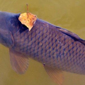 El TSJ de Murcia obliga a los pescadores a matar las carpas y las truchas arcoíris