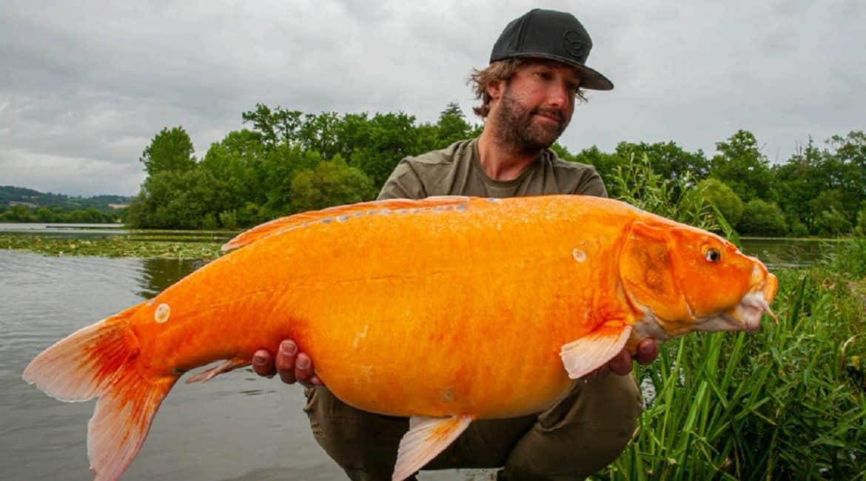 Un pescador español captura una carpa naranja de más de 13 kilos