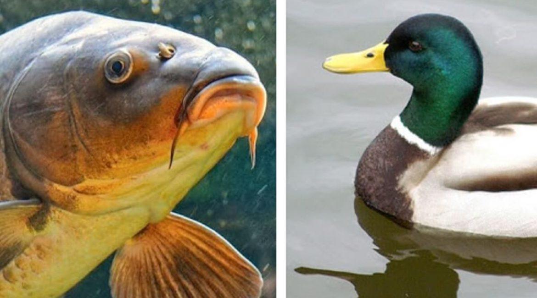 Las carpas pueden 'viajar' en las heces de los patos y expandirse, según un nuevo estudio