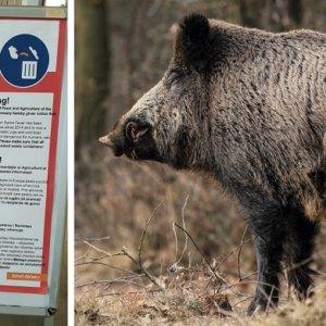 Suecia y Alemania informan en seis idiomas de la prohibición de alimentar jabalíes en su país