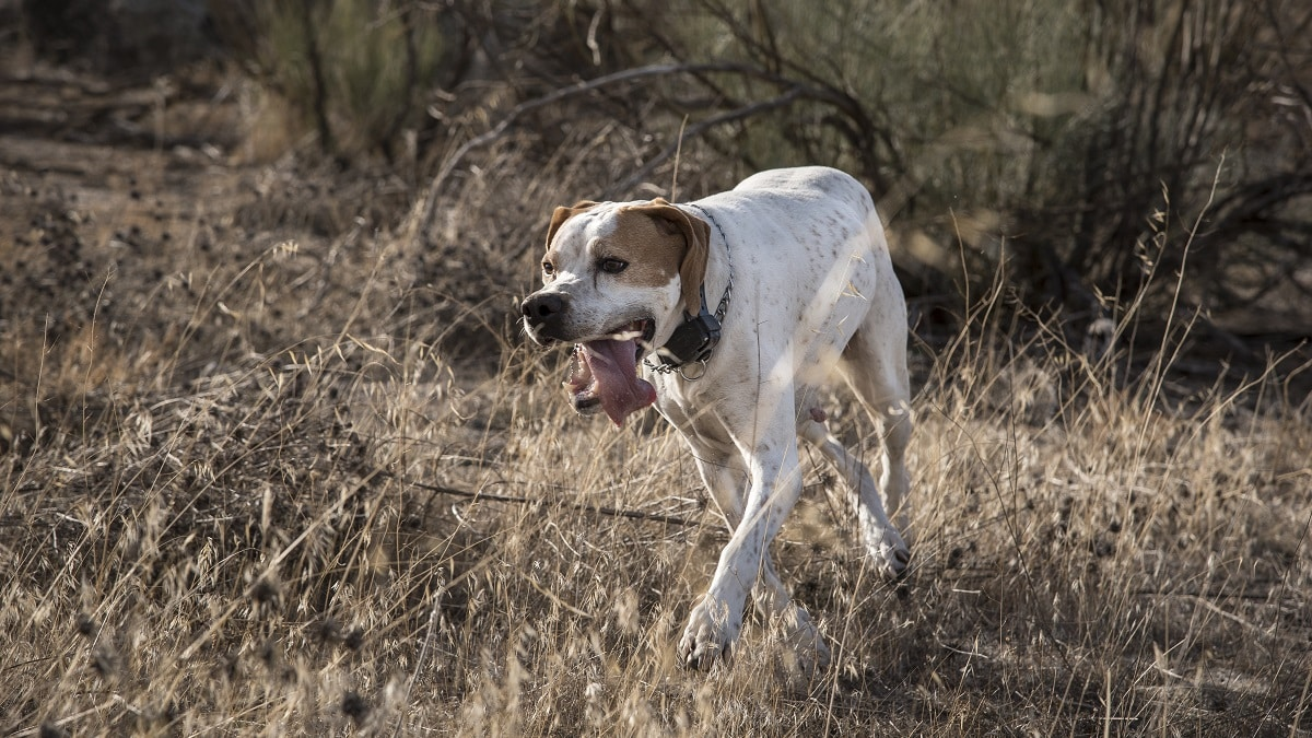 Los collares eléctricos, prohibidos para adiestrar perros de caza en Castilla-La Mancha