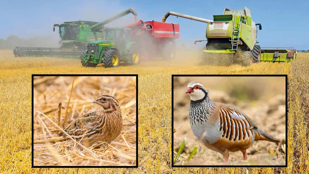 Agricultura y caza: Cómo cosechar en mayo y junio para facilitar la cría de la perdiz y la codorniz