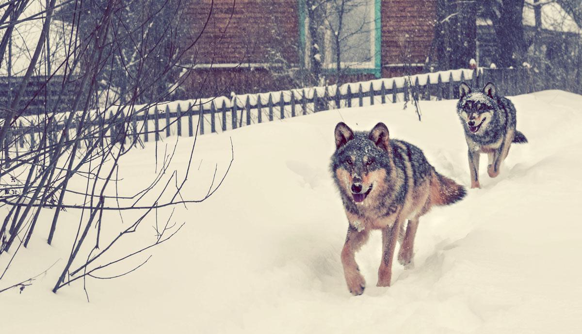 Dos lobos corren por una zona deshabitada de Chernóbil. /Shutterstock