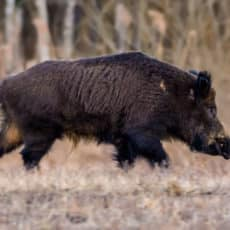 Castilla y León permite las esperas nocturnas y la entrada y salida de cazadores para controlar jabalí, ciervo, conejo y corzo