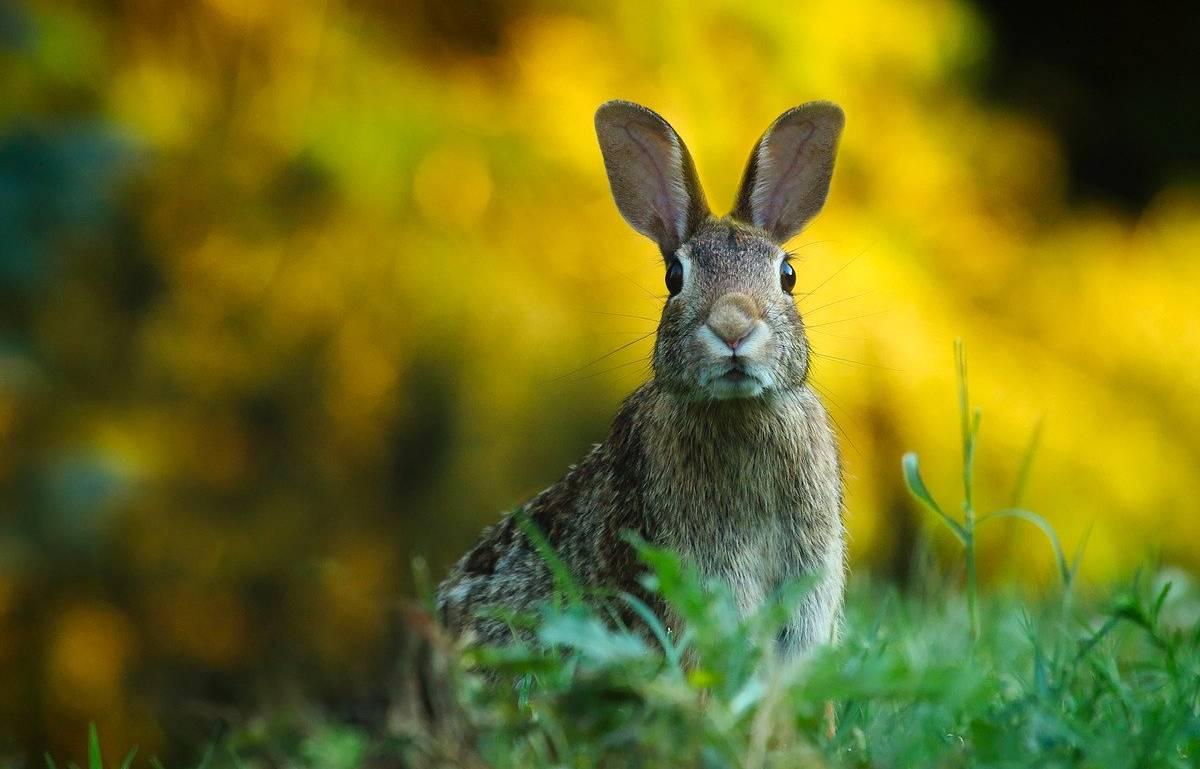 Navarra // El aumento de la caza de conejos frena los daños en los cultivos de Monteagudo