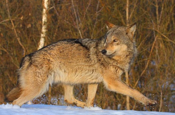 caza de grandes depredadores