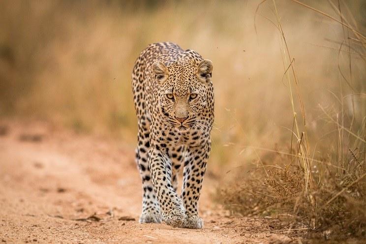 cazar leopardos en Sudáfrica