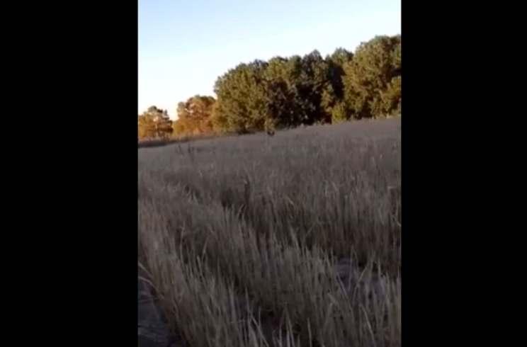 Un cazador hace la chilla y atrae a un zorro hasta sus pies