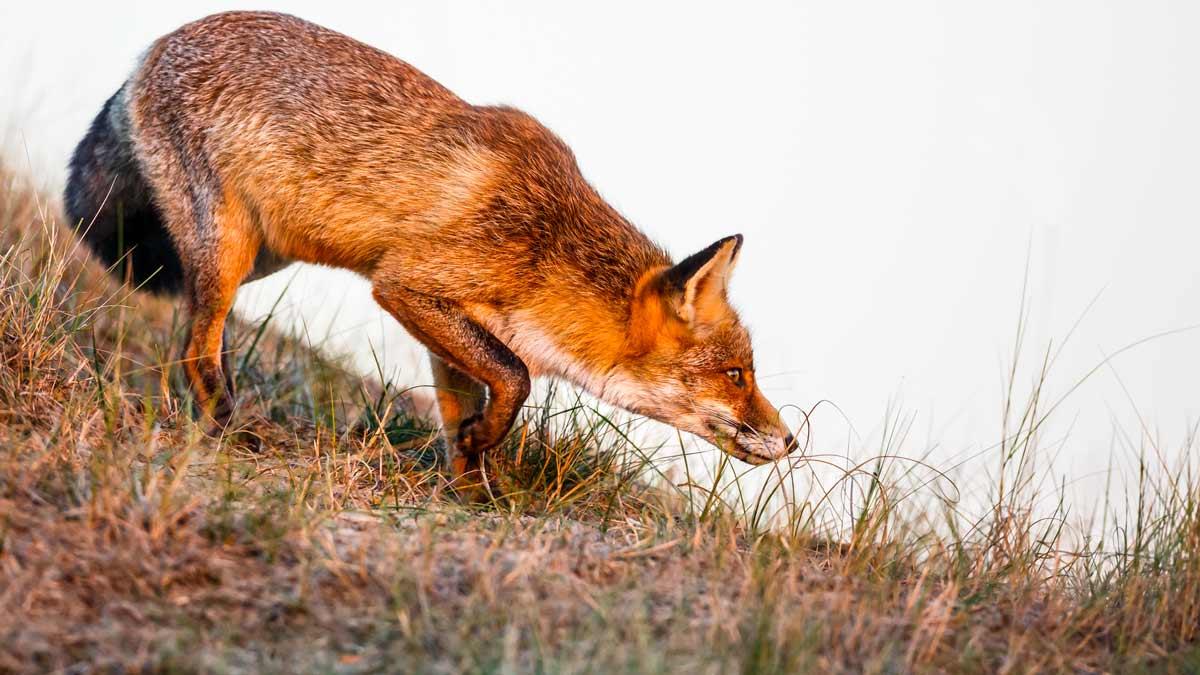Caza de zorros: ¿Por qué junio es un buen mes para controlarlos?