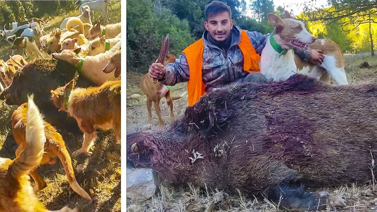 Este rehalero caza a cuchillo un descomunal jabalí de 124 kilos con unos colmillos «de espanto»