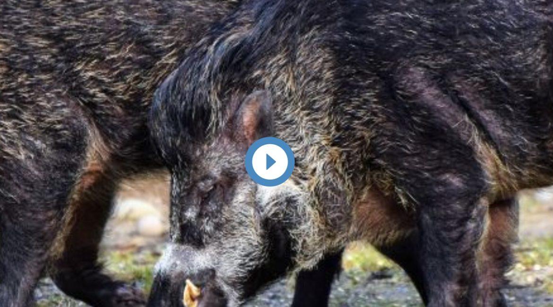 Antena 3 informa sobre la necesidad de cazar durante el estado de alarma para controlar jabalíes y conejos