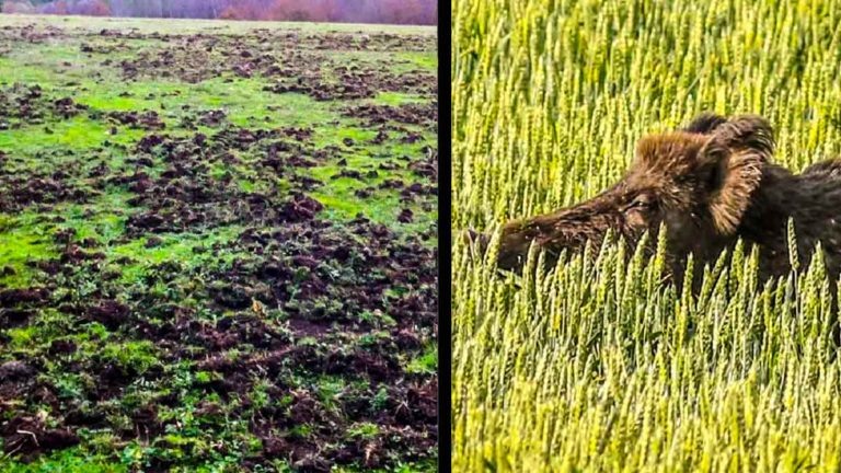 Daños agrícolas provocados por jabalíes. / Shutterstock