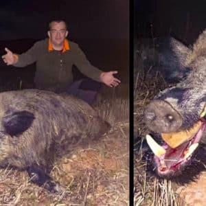 Caza un viejo jabalí de 158 kilos en una espera en Teruel