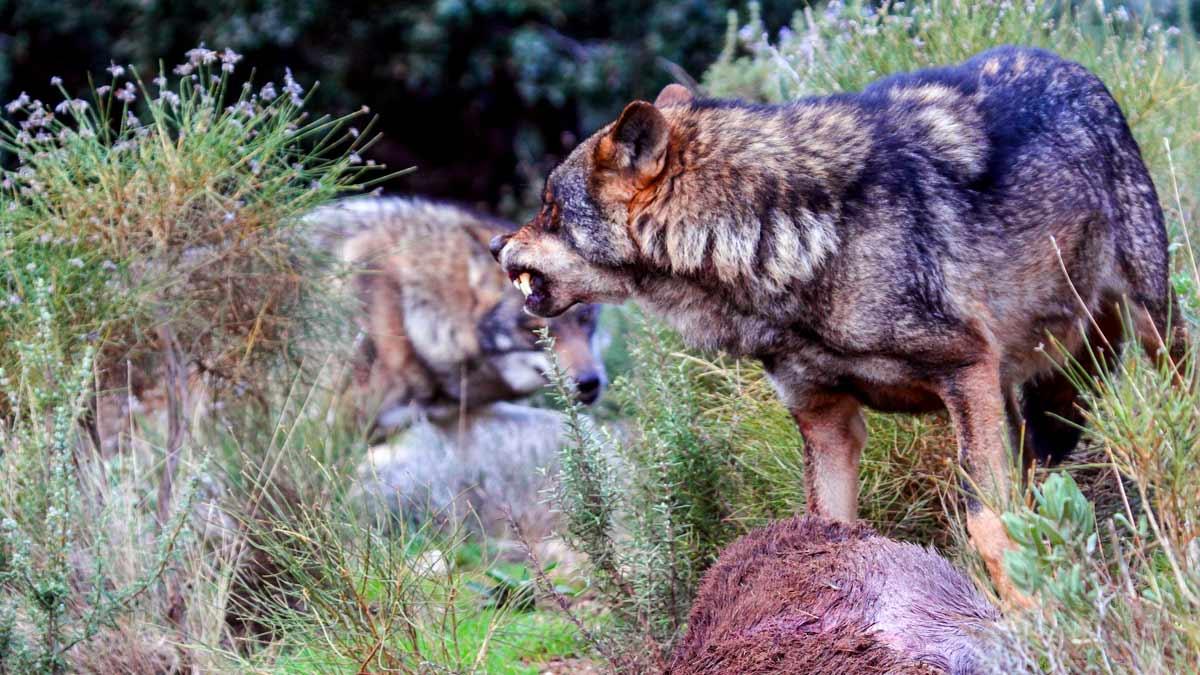 El lobo se seguirá cazando en Castilla y León tras un nuevo varapalo judicial al animalismo