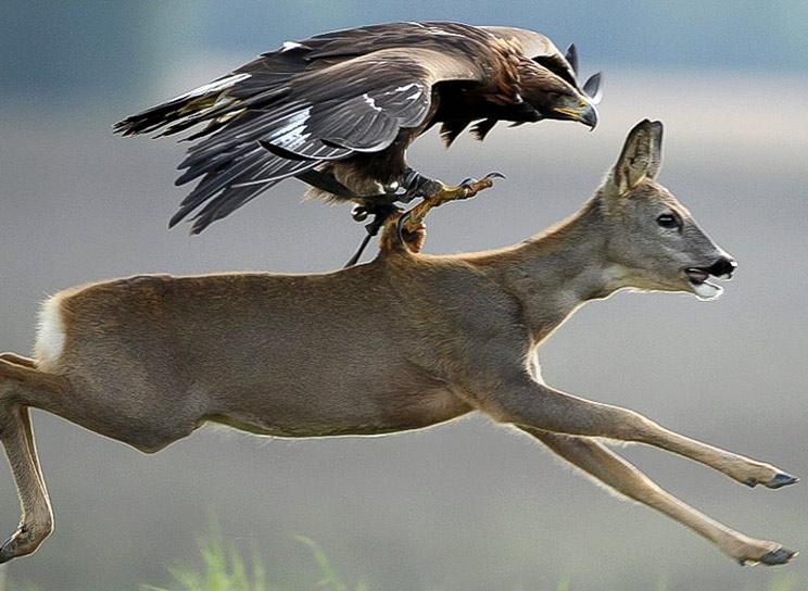 Castilla y León autoriza la caza mayor con cetrería