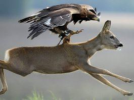 caza mayor con cetrería