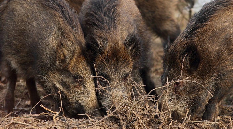 Los científicos alertan de que la caza es «imprescindible» en el estado de alarma y critican a los ecologistas