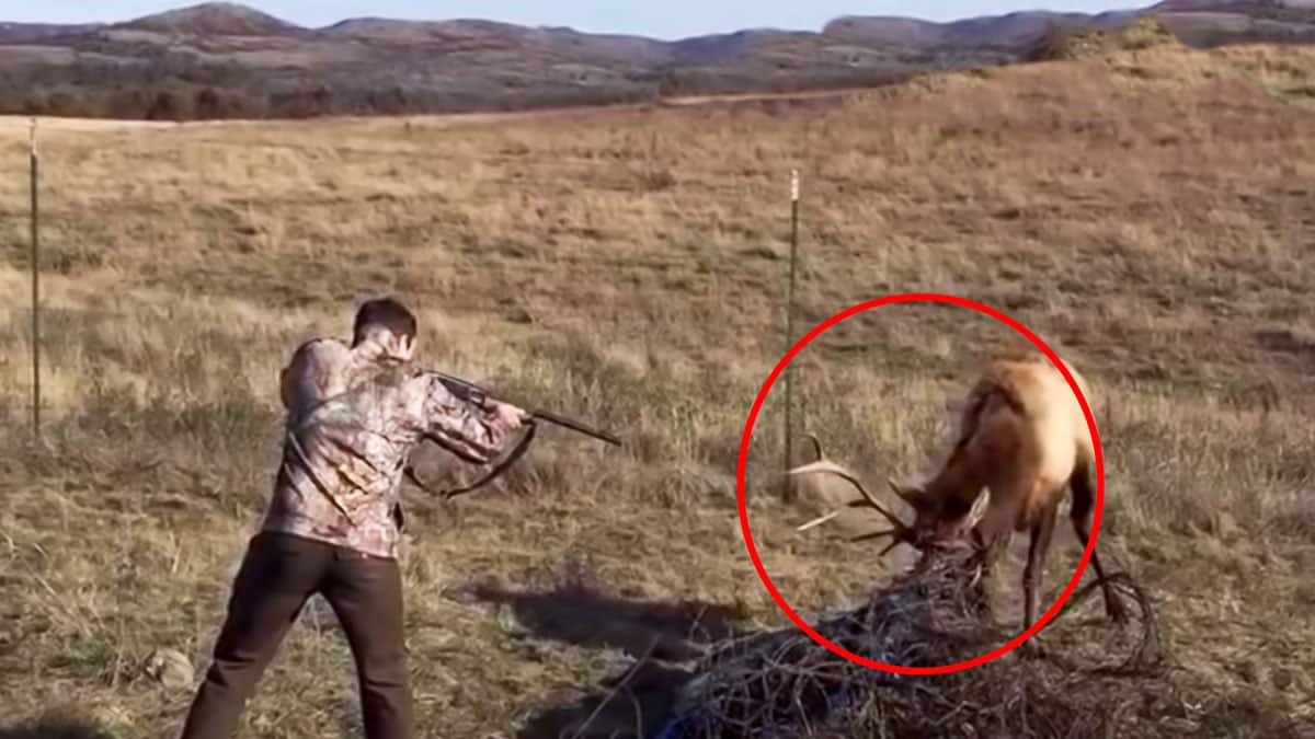 Así es realmente un cazador: se encuentra a un ciervo atrapado por su cuerna ¡y dispara!
