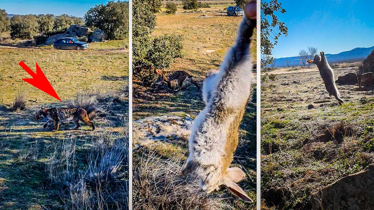 Precioso gesto: un cazador se cruza con un lince y le da uno de los conejos que ha cazado
