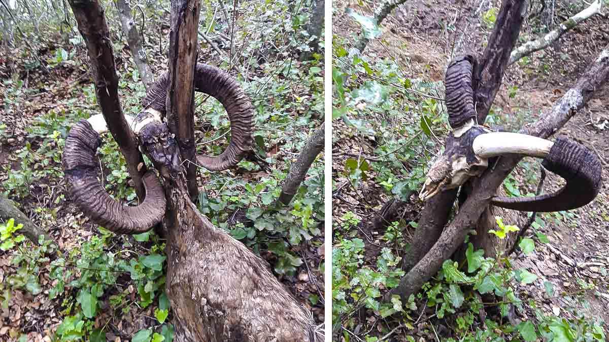 Un cazador encuentra un muflón muerto atrapado por sus enormes cuernos entre dos troncos