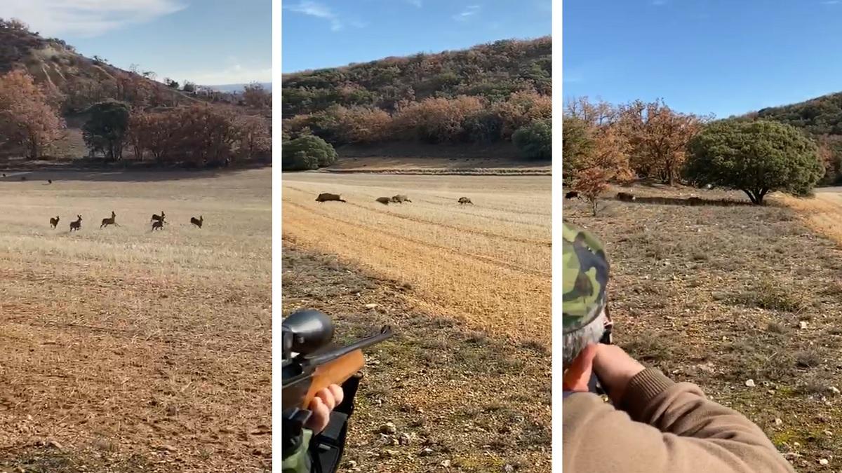Te echarás las manos a la cabeza: este cazador dispara a cuatro jabalíes y mira lo que sucede