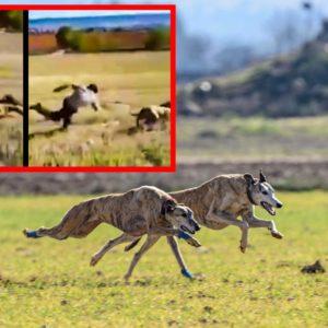 Desternillante suelta de un cazador que tropieza al soltar a sus galgos tras la liebre