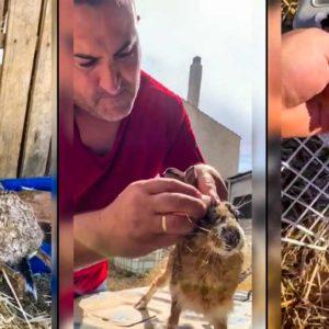 Un cazador cura a una liebre enferma de mixomatosis y la libera: así fue el proceso
